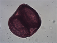 Pollen from the plant Genus Abies.